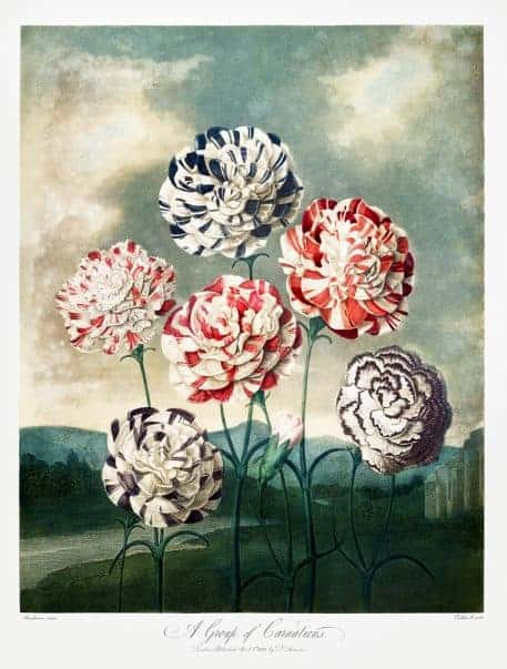A Group of Carnations from The Temple of Flora