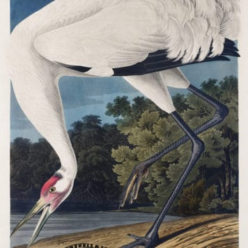 Hooping Crane by John James Audubon