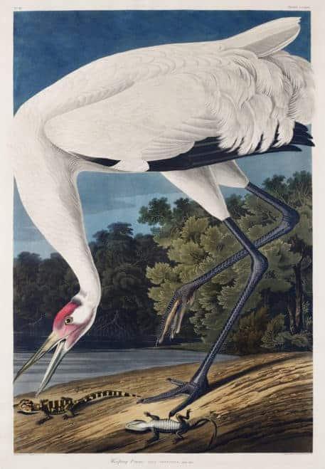 Grulla Blanca de John James Audubon