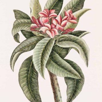 Plumeria from The natural history of Carolina, Florida, and the Bahama Islands (1754) by Mark Catesby (1683-1749).