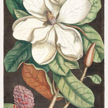 Laurel Tree (Magnolia altissima)