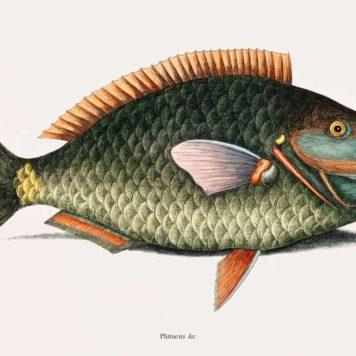 Parrot Fish (Psittacus Piscis Viridis)