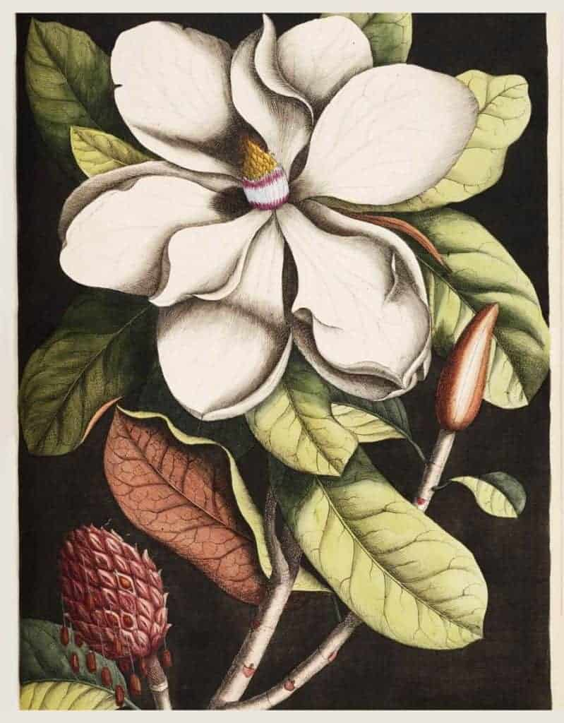 Laurel Tree (Magnolia altissima) from The Natural History of Carolina, Florida, and the Bahama Islands (1754) by Mark Catesby (1683-1749).