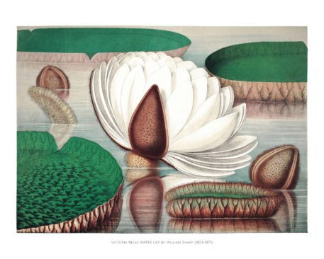 Chromolithographs of The Great Water Lily 1