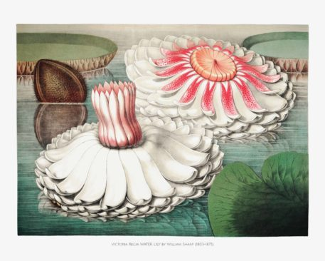 Chromolithographs of The Great Water Lily 3