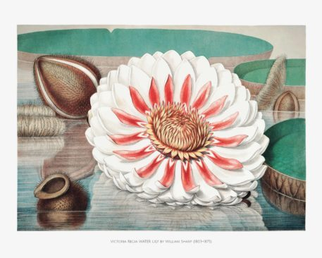 Chromolithographs of The Great Water Lily 4