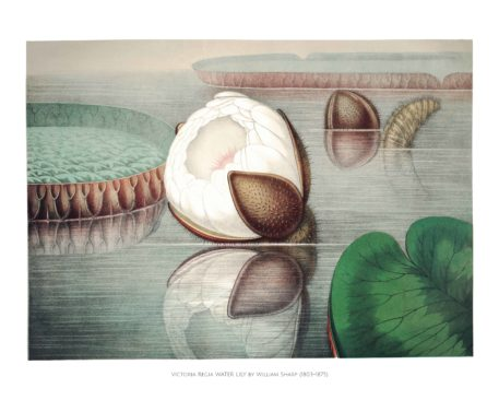 Chromolithographs of The Great Water Lily 2