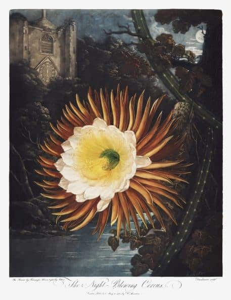 The Night–Blowing Cereus from The Temple of Flora