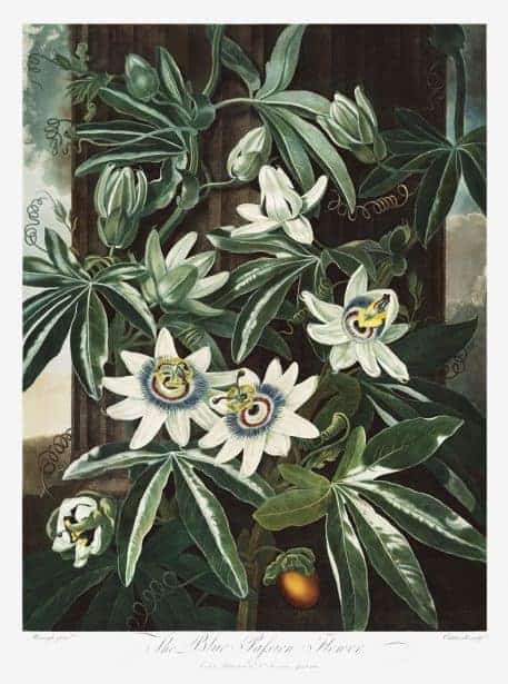 The Passiflora Cerulea from The Temple of Flora