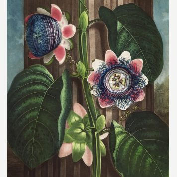 The Quadrangular Passion Flower from The Temple of Flora