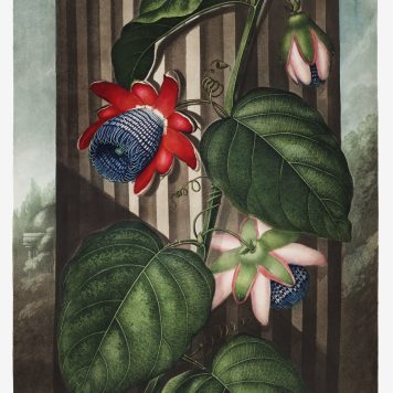The Winged Passion-Flower from The Temple of Flora