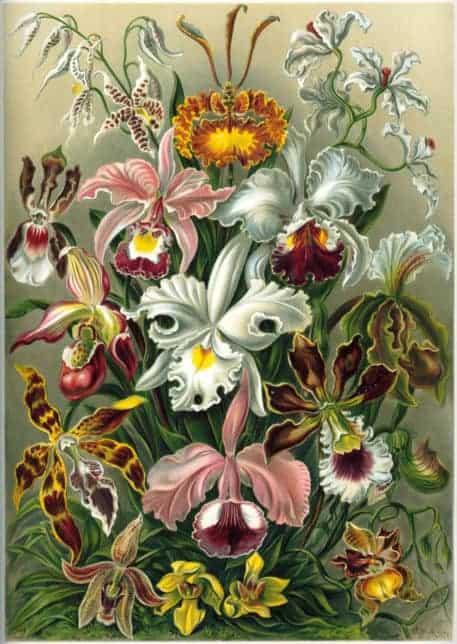 Orquídea (Orchidae)