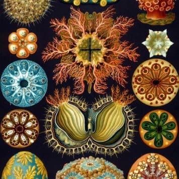 Ascidian (Ascidiae)