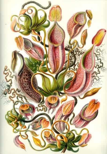 Nepenthes (Nepenthaceae)