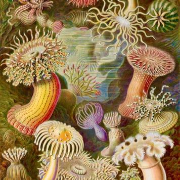 Sea anemone (Actiniae)