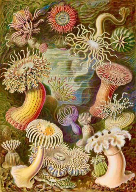 Anémona de mar (Actiniae)