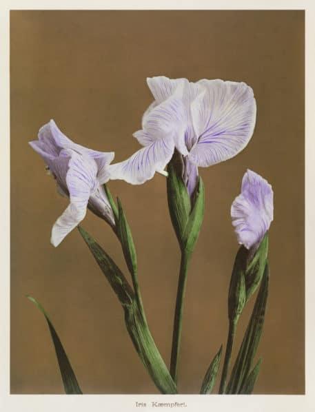 Iris Kompferi