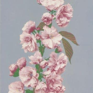 Cherry Blossom (1887-1897) by Ogawa Kazumasa (1860-1929).