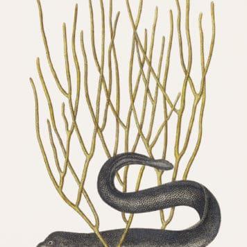 Black Murrey (Muraena Maculata Nigra)
