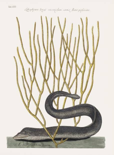 Murrey Negro (Muraena Maculata Nigra)