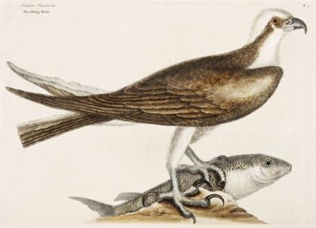 Fishing Hawk (Accipiter piscatorius)