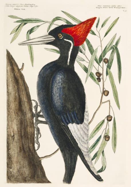 Pájaro carpintero de pico de marfil (Campephilus principalis)