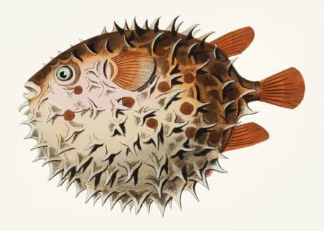 Ilustración vintage de un pez globo (Diodon orbicular)
