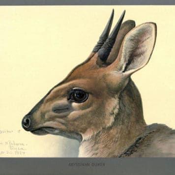 Abyssinian Duiker
