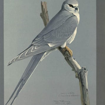 African Swallow Tailed Kite