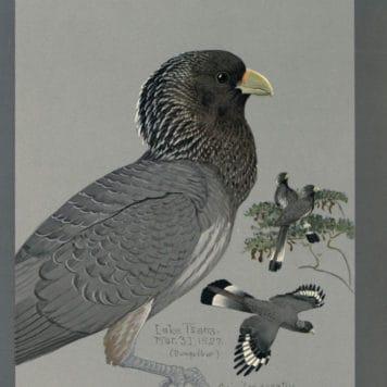 Gray Plantain Eater