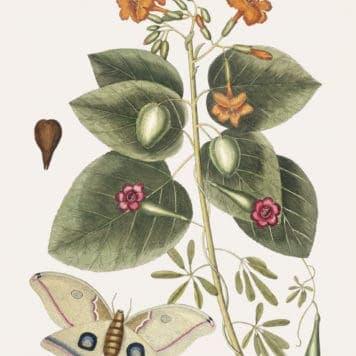 Great Moth (Phalæna ingens)
