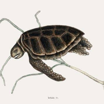 Green Turtle (Testudo marina viridis)