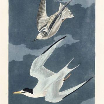 Lesser Tern