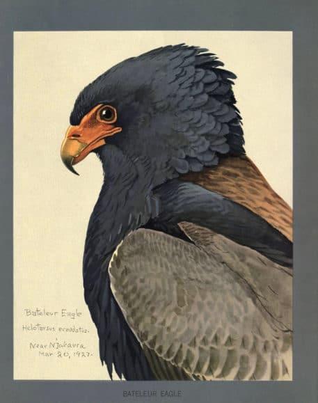 Águila Bateleur