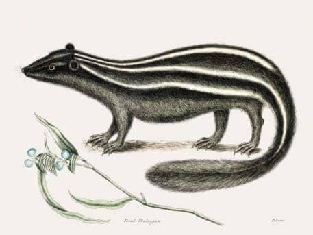 Polecat (Pseudo-Phalangium ramosum)