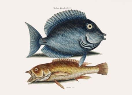 Pez Tang (Turdus Rhomboidalis) Pescado Amarillo (Turdus cauda convexa) de la historia natural de Carolina, Florida, y las Islas Bahama (1754) por Mark Catesby (1683-1749).