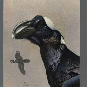 Cuervo de pico grueso