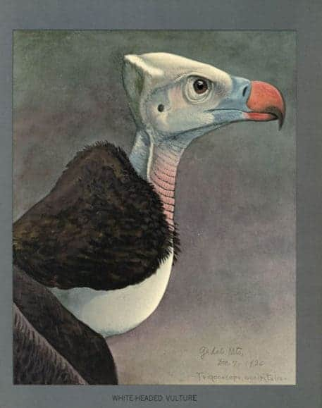 buitre-cabeza-blanca