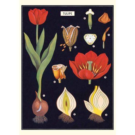 Tulip Cavallini & Co