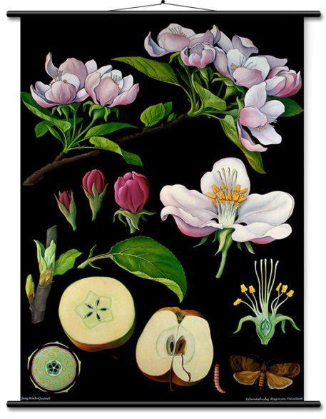 Memorable mural educativo vintage en lienzo: Manzano de Jung, Koch & Quentell
