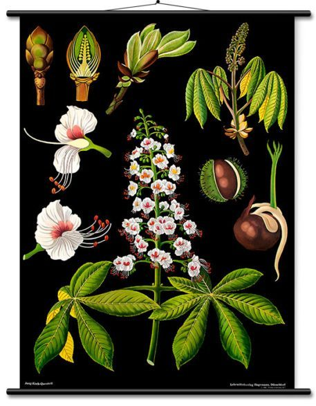 Mural educativo vintage en lienzo: Castaño de Indias deJung, Koch & Quentell