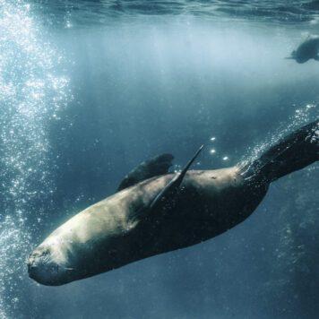 Antipodean Fur Seals of Australia and New Zealand