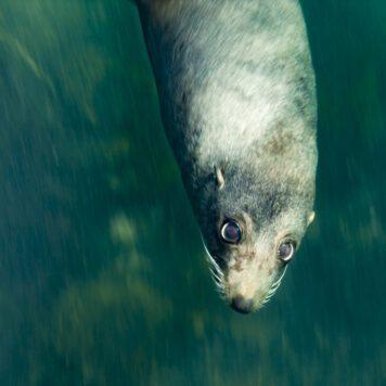 Lobos marinos de las antípodas de Australia y Nueva Zelanda