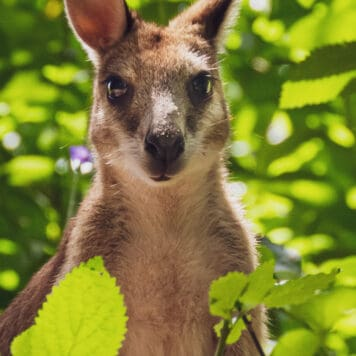 Curious Agile Wallaby